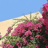 Lysee 100Pcs Garden Bougainvillea Glabra Choisy Seeds Climbing Garden Flower Seeds