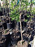 1 Live jujube chinese dates fruit plant- at bearing fruit stage - tao tau - 18 To 27 Inches tall