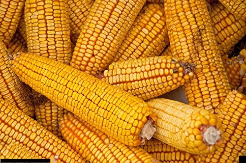 - 1lb Yellow Hickory King Dent Corn Seeds Plants