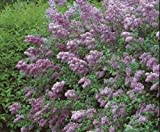 "Persian LILAC ~Lilac-Purple~ ""Syringa x Persica"" ~Blooms profusely~ 15+ Seeds"