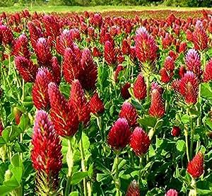 Semillas mezcladas del trébol ornamental - Trifolium sp.