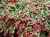 VACCINIUM VITIS-IDAEA 'KORALLE' - LINGONBERRY - STARTER PLANT