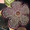 Edithcolea grandis (Persian Carpet Flower) - 5 Semi