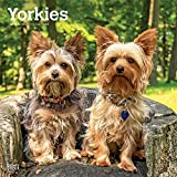 Yorkies International Edition 2019 12 x 12 Inch Monthly Square Wall Calendar, Animals Small Dog Breeds Yorkshire Terriers