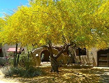 Amazoncom Blue Palo Verde Tree 15 Seeds Buy 1 Get 1 Free