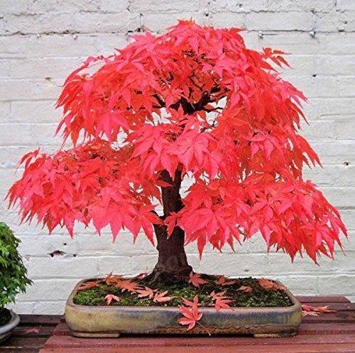 Nianyan Japanese Red Maple Tree 30 Seeds Garden Bonsai Beautiful Indoor Potting Plant