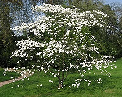 15 Seed Cornus Florida (Flowering Dogwood Tree Seeds)