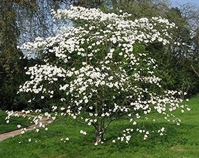 15 Seed Cornus Florida (Flowering Dogwood Tree Seeds)
