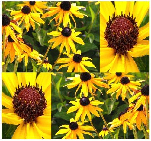 BLACK EYED SUSAN Flower Seeds ~ Rudbeckia hirta – SELF RESEEDS ~ PERFECT GOLDEN CUT FLOWERS (0283000 Seeds – 4 oz)