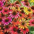 Best Garden Seeds Rare 'Cheyenne Spirit' Mixed Echinacea Coneflower, 100 seedas, ornamental perennial flowers long blooming