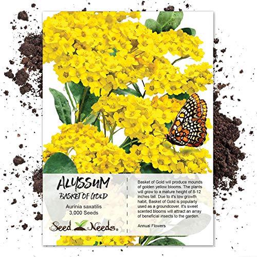 Seed Needs, Basket of Gold Alyssum (Alyssum saxatile) 3,000 Seeds