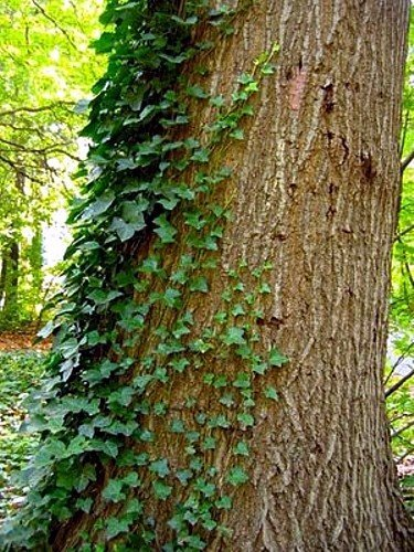 English Ivy 48 Plants - Hardy Groundcover - Sun or Shade -1 3/4'' Pots