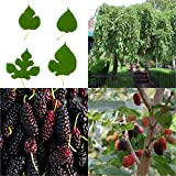 HEIRLOOM NON GMO Black Mulberry 25 seeds