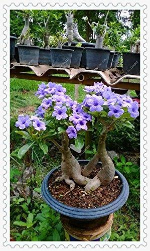Seeds Shopp 2pcs/pack Adenium Obesum Blue Desert Rose Seeds for Home Garden Rose Flower Seeds Bonsai Tree ()