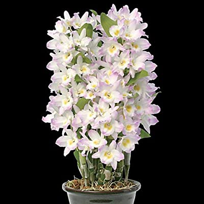 Gonikm 100Pcs Home Gardening Ornamental Plants Flower Dendrobium Seeds Flowers : Garden & Outdoor