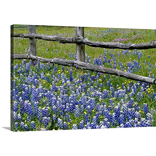 Premium Thick-Wrap Canvas Wall Art Print Entitled Bluebonnet Flowers Blooming Around Weathered Wood Fence, Texas ()