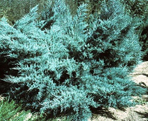 Blue Pfitzer Juniper Qty 30 Live Plants Evergreen Ground Cover by Florida Foliage (Image #4)