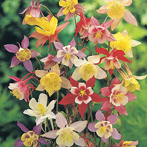 Mckana's Giant Columbine seeds Colorful flowers great perennial NON GMO (2.83 grams ~ 2000 Seeds)