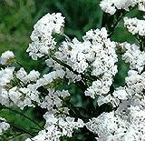 NIKITOVKASeeds - Wavyleaf Sea-Lavender White - 100 Seeds - Organically Grown - NON GMO