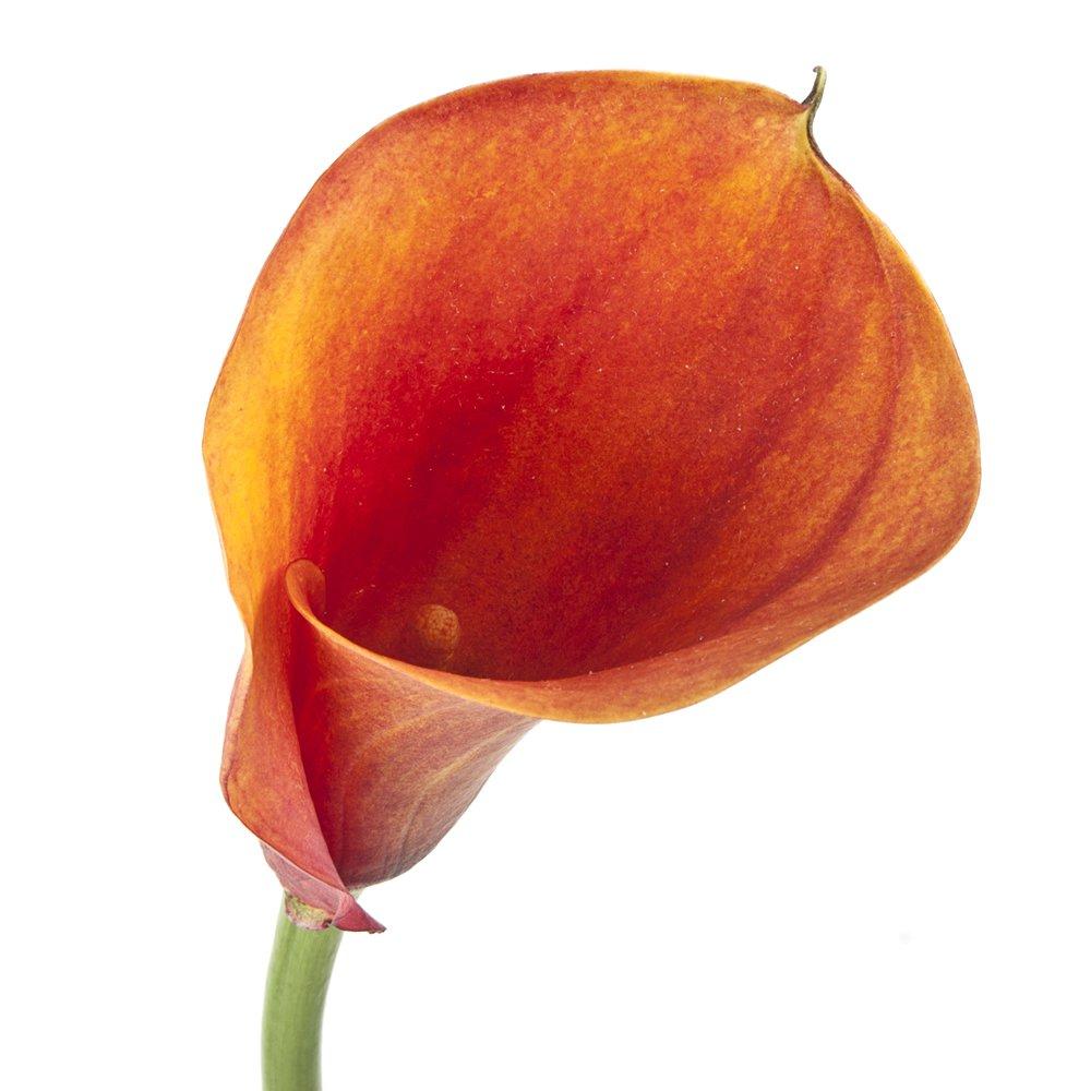 eFlowy - 60 Orange Mini Callas Lilies - Wholesale ...