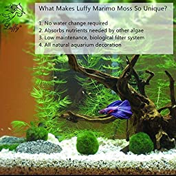 "3 Luffy Giant Marimo Moss Balls (1.5"") : Biological, Natural, Chemical Free Filter System : Removes Nitrates : A Beautiful way to keep Fish and Aquarium Plants Healthy : No Water Change required"