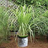 """5 Lemongrass Plants 15""""-20"""" TALL Non-GMO Organic - Lemongrass Live Plants FIVE (5) LIVE PLANTS Healthy Strong Root MOSQUITOES REPELLENT CYMBOPOGON CITRATUS FREE GROW BAG FROM NATA GARDEN"""