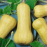 Everwilde Farms - 40 Waltham Butternut Winter Squash Seeds - Gold Vault Jumbo Seed Packet