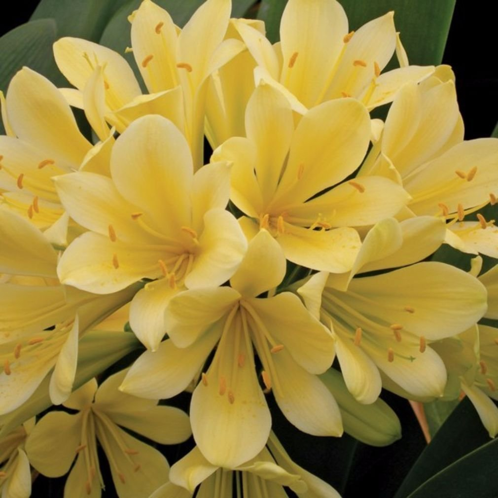 Yellow Kaffir Lily aka Clivia miniata hyb. 'Good Hope' Live Plants fit 1 Gallon Pot From Bellacia Garden