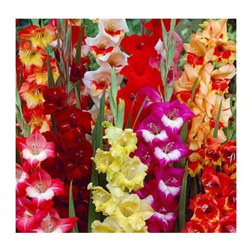 Wholesale (10) Fresh, New 2018, Large Flowering Mixed Colors Gladiolus Bulbs, Plants, Flowers, Flowering Perennials,Sword Lily, Gladioli-SeedsBulbsPlants&More for cheap