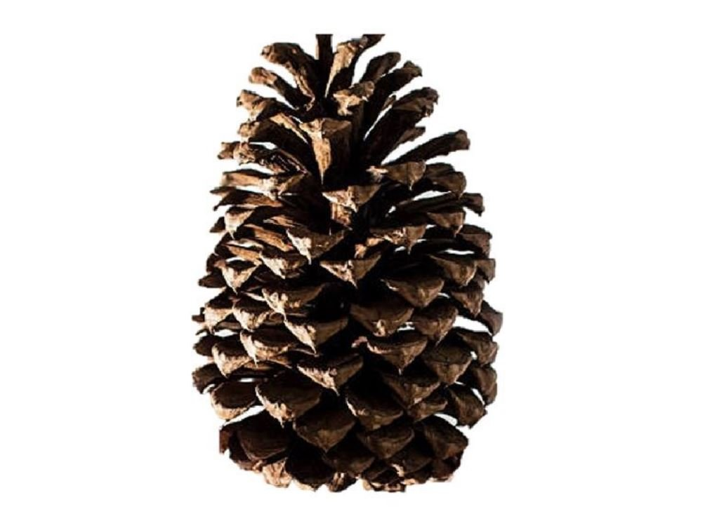 Amazon Com Bulk Package Of Natural Pinecones 1 2 Pound Pine Cones In Bulk Grocery