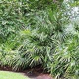 rarit t riesige rhapidophyllum hystrix gr e 130 150 cm eine der frosth rtesten palmen der welt. Black Bedroom Furniture Sets. Home Design Ideas