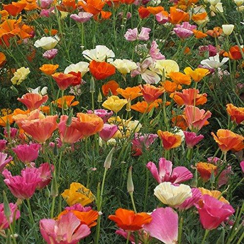 California Poppy Mission Bells - California Poppy Mission Bells Flower Seeds (5000 seeds)