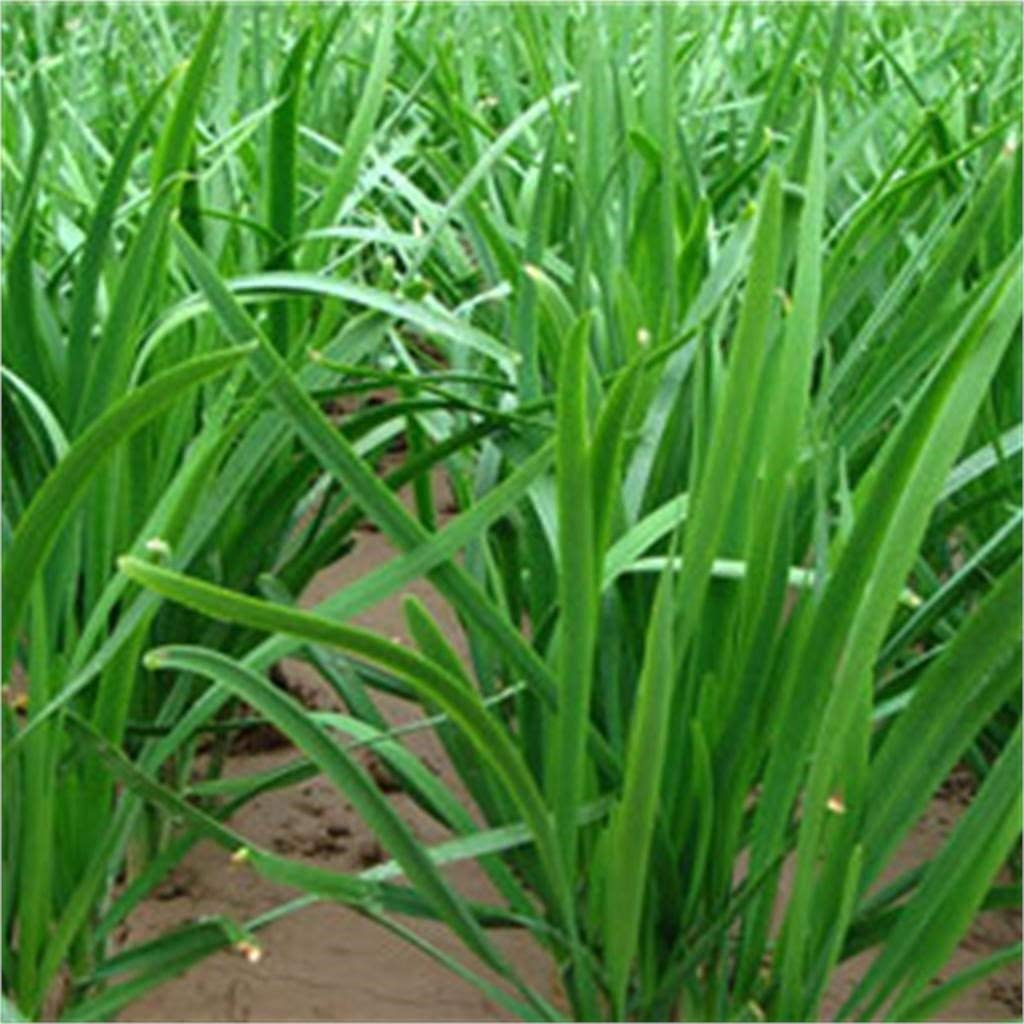 Isuper 200 Chinese Chives Organic Green Non-Gm Seeds