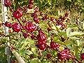 Organic Hibiscus sabdariffa-Roselle Seeds: Non-GMOs, Red Big flower by Yam Yim Farm