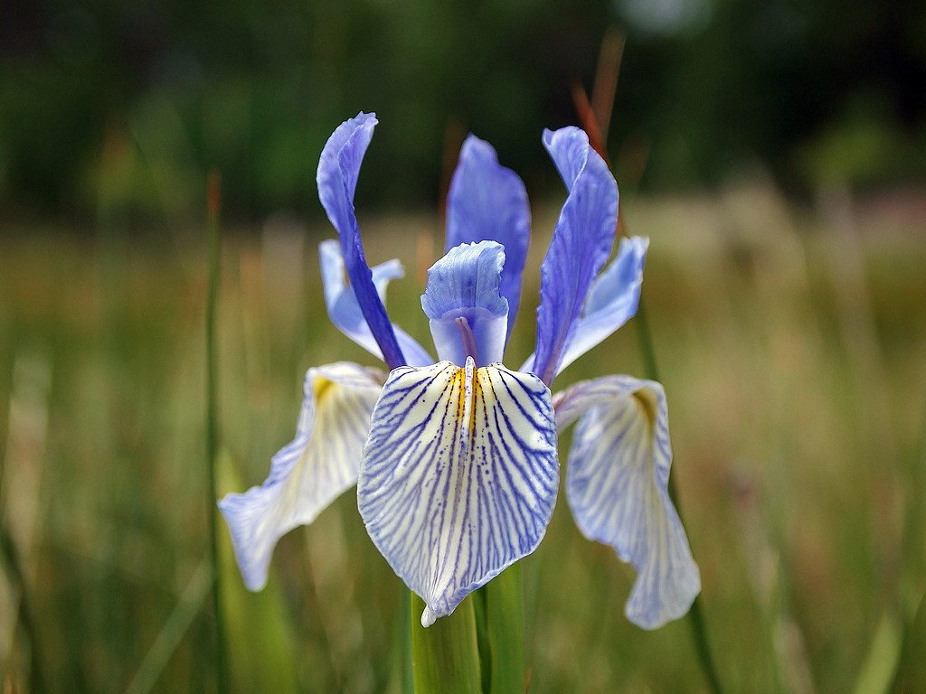 Amazon Western Blue Flag Iris 10 Seeds Iris Missouriensis