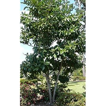 Amazoncom Sweetbay Magnolia Tree 12 18 Hardy Established Roots