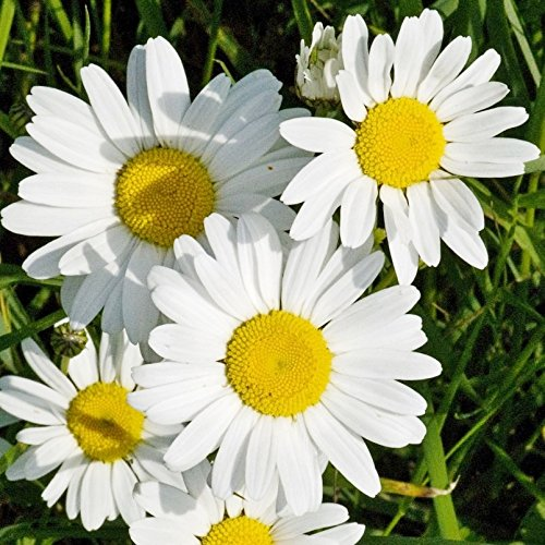 Ox-Eye Daisy Seeds - 5 Pounds, Bulk, Mixed, Flower Seeds by Eden Brothers