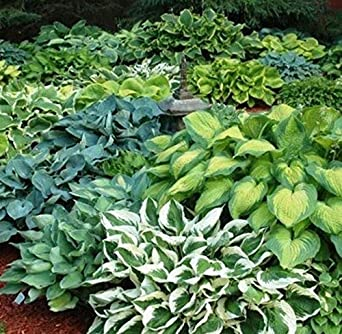 Amazon Com Mixed Hosta Seeds Large Variety Mix Plantain Lily