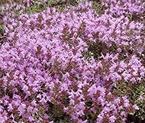 CREEPING THYME GROUND COVER Thymus Serpyllum - 150,000 Bulk Seeds