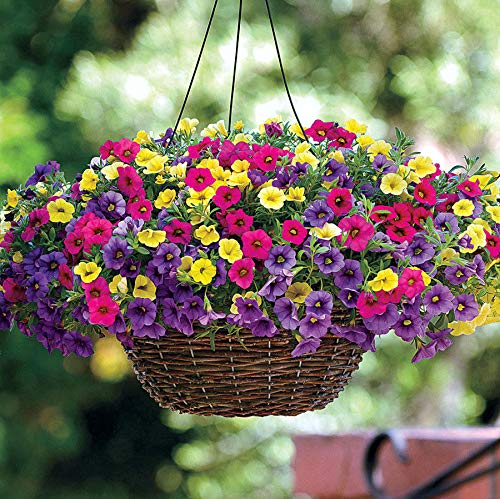Annual Bell - 500pcs Pink Yellow Mini calibrchoa Million Bells Annual Flower Seeds Multicolor