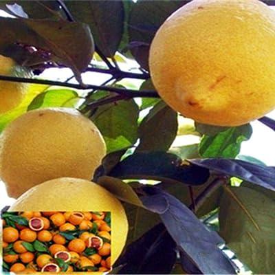 HOTUEEN Perennial Bonsai Mini Lemon Seeds Bonsai Outdoor Plant Seeds Fruits : Garden & Outdoor