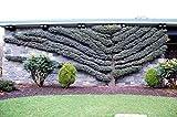 Blue Atlas Cedar - Cedrus atlantica 'Glauca' 2 - Year Tree