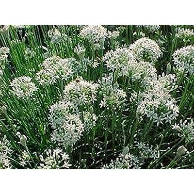 Chives- Garlic- Allium Tuberosum - 200 Seeds- : Garden & Outdoor