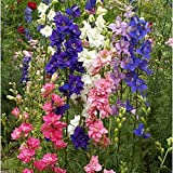 Rocket Larkspur - Mix ,Many varieties of colors,-3000 Seeds-Delphinium Consolida