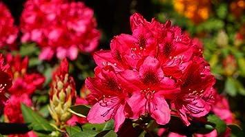 WZZPSD Pintura por Números Flores De Azalea Llameante Arte ...