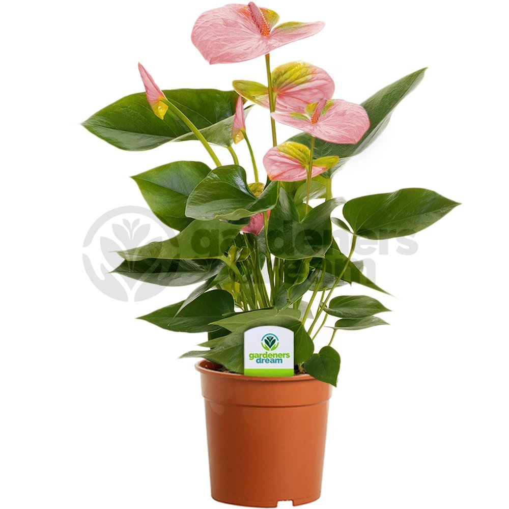 Anthurium (male happiness): care and reproduction at home 84