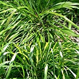 New Fragrant 100pcs Lemongrass Herb Lemon Grass Cymbopogon Flexuosus Bonsai Seeds Fresh Garden Decoration