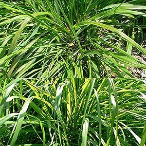 SVI New 50PCS citronella erba limone erba Cymbopogon Flexuosus semi fresco aroma rich Garden decorazione 2 spesavip