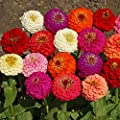Outsidepride Zinnia Elegans Lilliput Flower Seed Mix 1000 Seeds