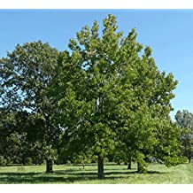 "Sweet Gum Tree - 24"" - 36"" Tall - Healthy Established Roots - Gallon Potted - 1 Plant by Growers Solution"
